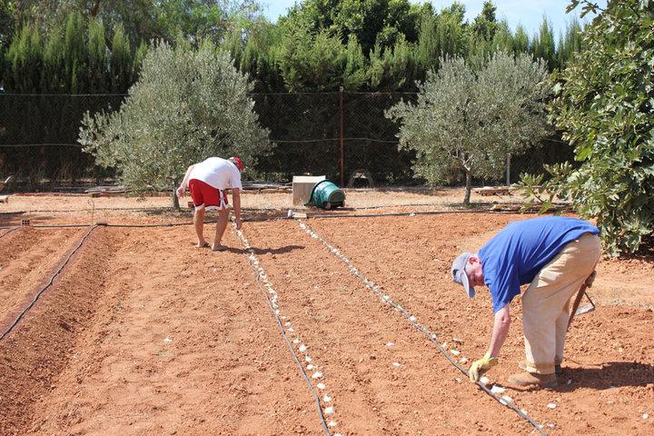 Plantando calçots en Cartagena