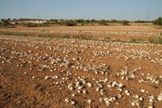Dejamos secar las cebollas para cal�ots tiradas en el campo