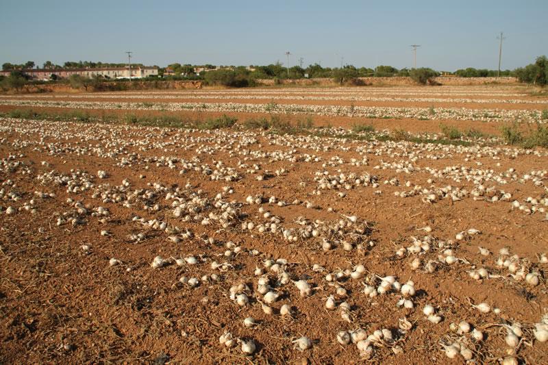 Dejamos secar las cebollas para calçots tiradas en el campo