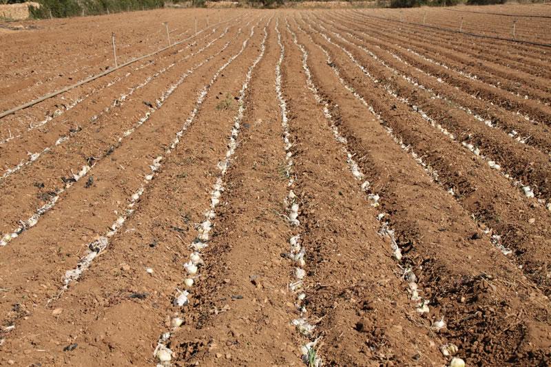 Plantación de Calçots de la temporada 2013-2014