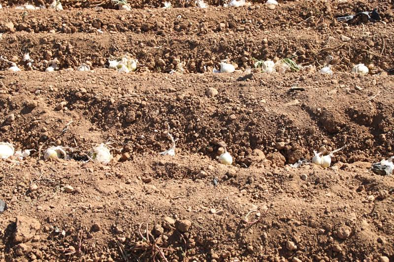Detalle de las cebollas para calçots plantadas dentro del surco