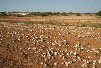 Las cebollas ya arrancadas y secándose
