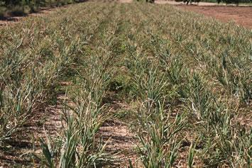 El campo con las cebollas a punto de ser arrancados