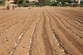 Cebollas plantadas parcialmente en el surco
