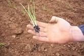 Plantel de cebolla listo para ser plantado.