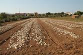 Campo de cebollas ya arrancadas, secándose a la espera de ser replantadas.