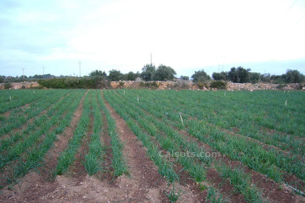 Uno de nuestros campos plantados con calçots