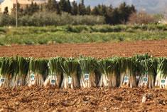 Unos cuantos manojos de 50 unidades de cal�ots de Valls (con etiqueta de la IGP) durante la temporada de cal�ots