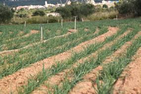 Otro campo en el que hemos plantado calçots