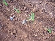 Cebollas mal plantadas