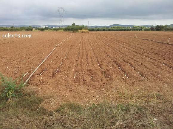 Plantar calçots a l'estiu, un camp sencer plantat amb cebes per a calçots