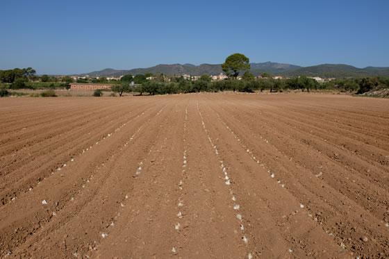 Alineación de las cebollas de calçots plantadas