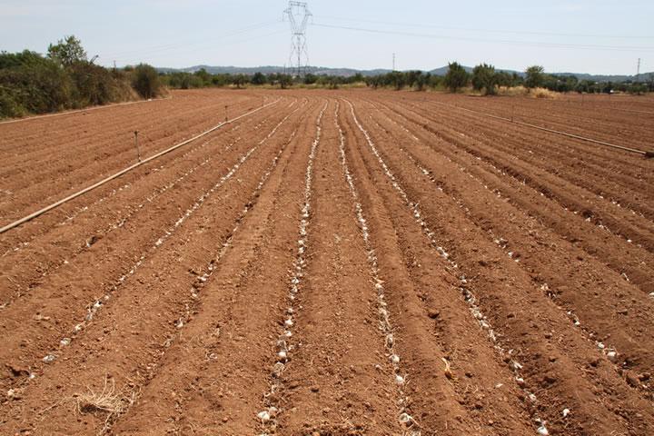 El campo grande ya plantado con cebollas para calçots