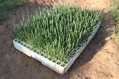 El plantel de cebolla que vamos a plantar