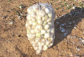 Saco de cebollas para plantar calçots