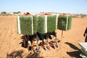 El tractor con 12 bandejas de plantel de cebollas para calçots