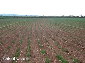 El último campo con nuestro cultivo de calçots