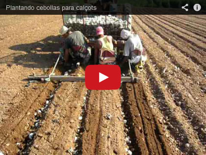 Video de la plantación de calçots
