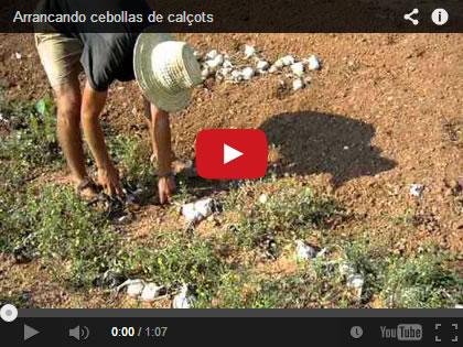 Vídeo de cómo se recogen las cebollas